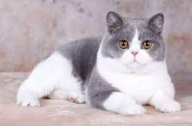[新聞] 英國短毛貓最易患的一種疾病,各品種貓咪的主人都應該警惕